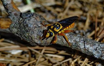 Bee-like Robberfly called Laphria saffrana