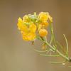 Erysimum cheiri - Muurbloem, Wallflower