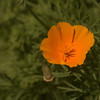Escholzia californica - slaapmutsje