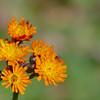 Hieracium aurantiacum - Oranje havikskruid - Orange hawkweed