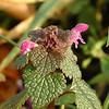 Lamium purpureum | Paarse dovenetel - Red deadnettle