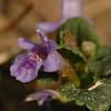 Glechoma hederacea | Hondsdraf - Ground ivy