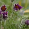 Pulsatilla vulgaris | Wildemanskruid - Pasque flower