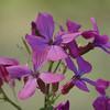 Lunaria annua | Tuinjudaspenning - Annual honesty