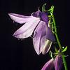 Campanula rapunculoides | Akkerklokje - Creeping bellflower