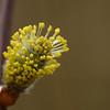 Salix caprea - Boswilg