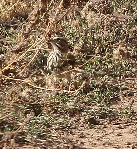 Savannah sparrow?