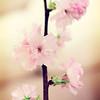 Cherry blossoms. © 2012 Sugar + Shake