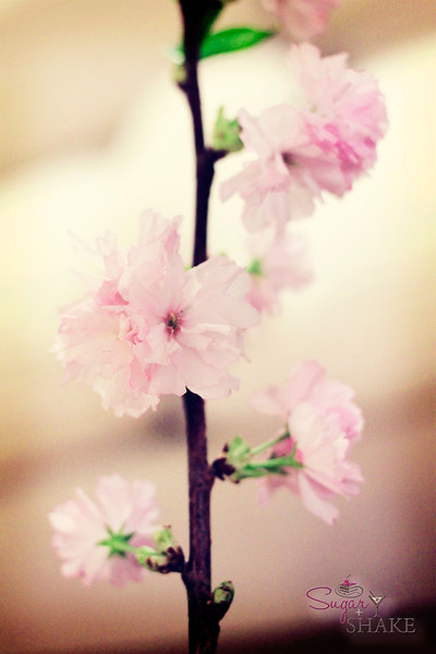 Cherry blossoms. © 2012 Sugar + Shake
