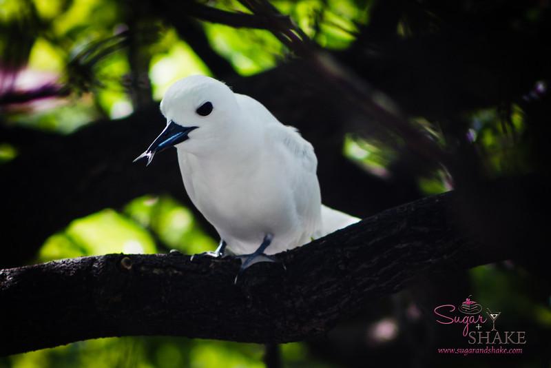 Manu-o-Kū, or white fairy tern, enjoying a snack. © 2014 Sugar + Shake