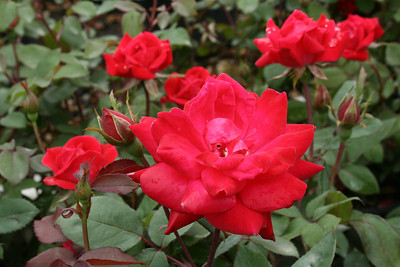 Double Knock Out® Rose PP16202 http://www.greenleafnursery.com/index.cfm/fuseaction/plants.plantDetail/plant_id/612/index.htm