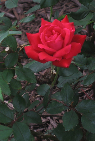 Double Knock Out® Rose