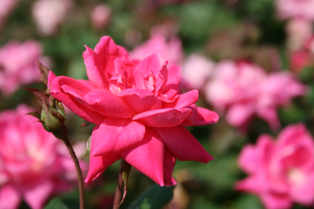 Pink Double Knock Out® Rose PP18507 http://www.greenleafnursery.com/index.cfm/fuseaction/plants.plantDetail/plant_id/1287/index.htm