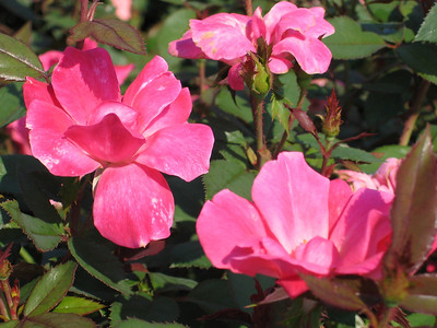 Pink Knock Out® Rose PP15070 http://www.greenleafnursery.com/index.cfm/fuseaction/plants.plantDetail/plant_id/4840/index.htm