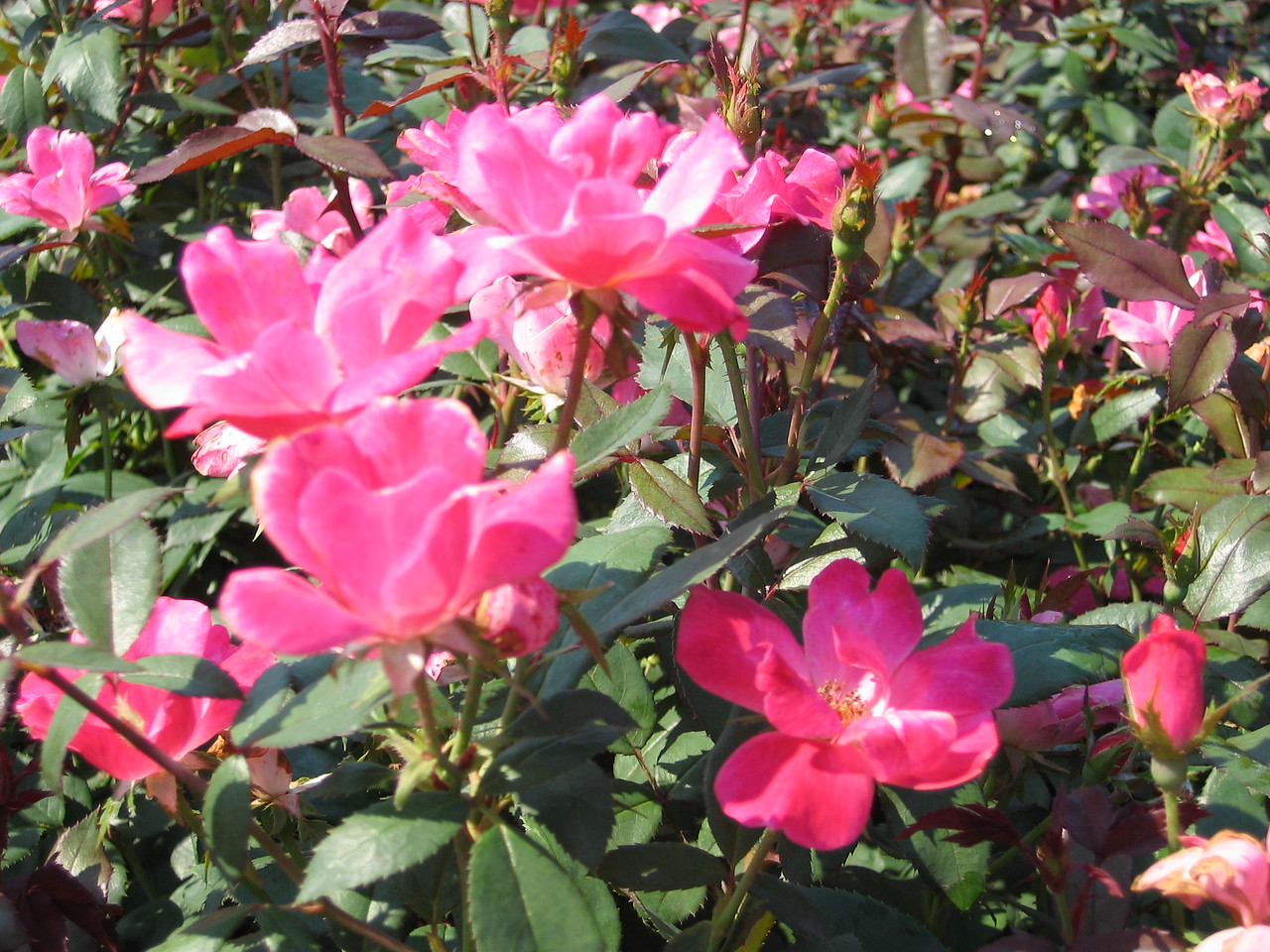 Pink Knock Out® Rose PP15070