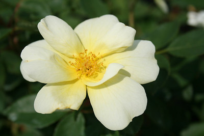 Sunny Knock Out® Rose PP18562 http://www.greenleafnursery.com/index.cfm/fuseaction/plants.plantDetail/plant_id/2321/index.htm