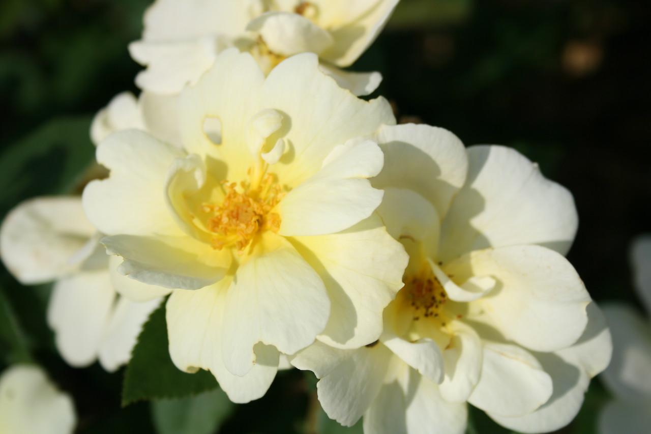 Sunny Knock Out® Rose PP18562 http://www.greenleafnursery.com/index.cfm/fuseaction/plants.plantDetail/plant_id/2321/index.htm