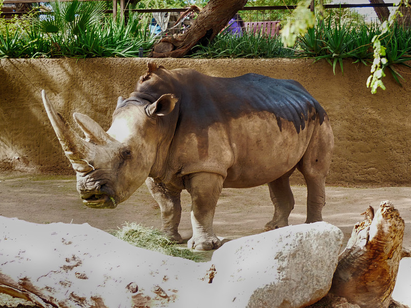 """White Rhinoceros -or- Square-lipped Rhinoceros (Ceratotherium simum)<br /> <br /> A popular theory of the origins of the name """"white rhinoceros"""" is a mistranslation from Dutch to English. The English word """"white"""" is said to have been derived by mistranslation of the Dutch word """"wijd"""", which means """"wide"""" in English. The word """"wide"""" refers to the width of the rhinoceros' mouth. So early English-speaking settlers in South Africa misinterpreted the """"wijd"""" for """"white"""" and the rhino with the wide mouth ended up being called the white rhino and the other one, with the narrow pointed mouth, was called the black rhinoceros. <br /> <br /> This animal at the Phoenix Zoo is a white rhino subspecies:<br /> southern white rhinoceros (Ceratotherium simum simum)"""