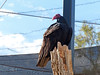 Turkey Vulture (Cathartes aura)<br /> <br /> The Turkey Vulture is a scavenger and feeds almost exclusively on carrion. It has very few natural predators. It is still protected in the United States under the Migratory Bird Treaty Act of 1918. In the USA it is illegal to take, kill, or possess Turkey Vultures, and violation of the law is punishable by a fine of up to $15,000 and imprisonment of up to six months.