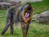 Mandrill, male (Mandrillus sphinx)<br /> <br /> The mandrill ias the most colorful primate and one of the greatest gender dimorphisms as well. They live in large groupings called hoards, with one of the larger recorded at approximately 845 individuals.<br /> <br /> When males become dominant their coloration intensifies and only they can sire offspring. <br /> <br /> Mandrills are considered a 'vulnerable' species. Their most direct threat is by being hunted for meat.