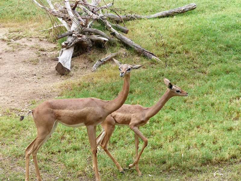 Gerenuk -or- Giraffe-necked Antelope Litocranius walleri)<br /> <br /> A curiously charming looking antelope with it's small head size, this species often stands erect on it's hind legs to feed. It is a fast runner but will sometimes breaks it's own  (very spindly) legs falling over. Many breeders of gerenuks and zoologists have described gerenuks as being extremely humble animals, always helping fellow gerenuks.