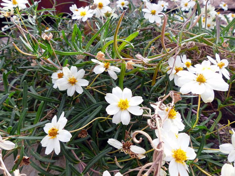 Daisy Flowers, white