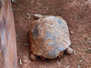 African spurred tortoise -or- Sulcata tortoise (Geochelone sulcata)<br /> <br /> These guys can get up to 230 pounds!! Their average lifespan is 50-150 years - but can be much longer!!<br /> <br /> With very little protein, no fruit, and mostly grasses their diet is decidedly BORING!!