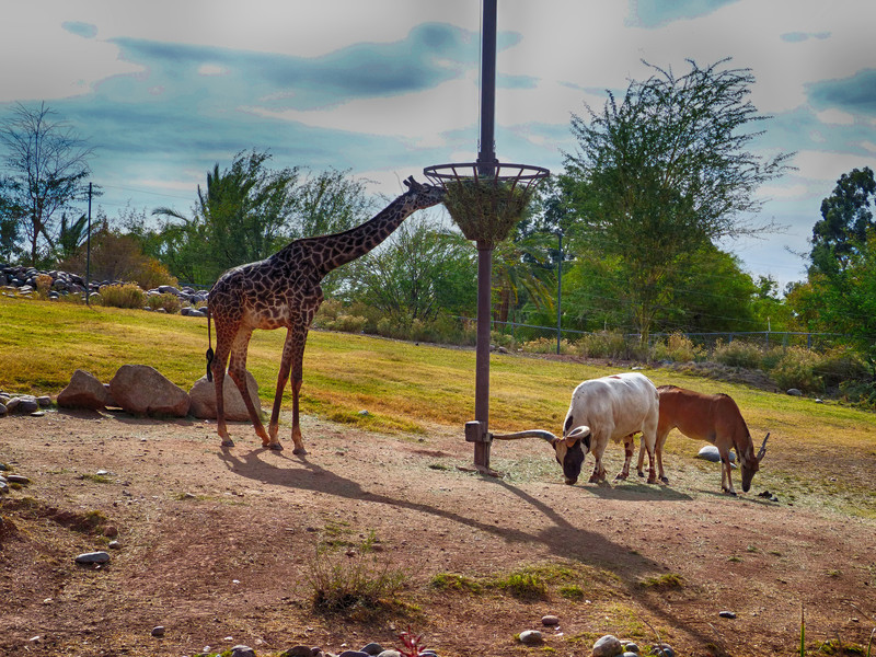 Savanna mixed species display<br /> <br /> Shown here: Reticulated Giraffe, Watusi Cattle, and Common Eland