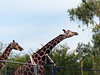 """Reticulated giraffe (Giraffa camelopardalis reticulata)<br /> <br /> The reticulated giraffe is among the most well-known of the nine giraffe subspecies. <br /> <br /> Giraffes often find mates through a technique known as """"necking"""". The males stand next to each other and swing their necks wildly at the other. Whichever giraffe uses his neck and head most effectively and remains standing the longest is declared the winner and is allowed to mate with the female. One hypothesis is that giraffes with the longest and strongest necks would be the most likely to win the """"necking"""" contest."""