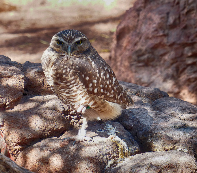 Burrowing Owl (Athene cunicularia)<br /> <br /> The Burrowing Owl is endangered in Canada, threatened in Mexico, and a species of special concern in Florida and most of the western USA. It is a state threatened species in Colorado. They are protected under the Migratory Bird Treaty Act in Canada, the United States, and Mexico. This species can live for at least 9 years in the wild and over 10 years in captivity.