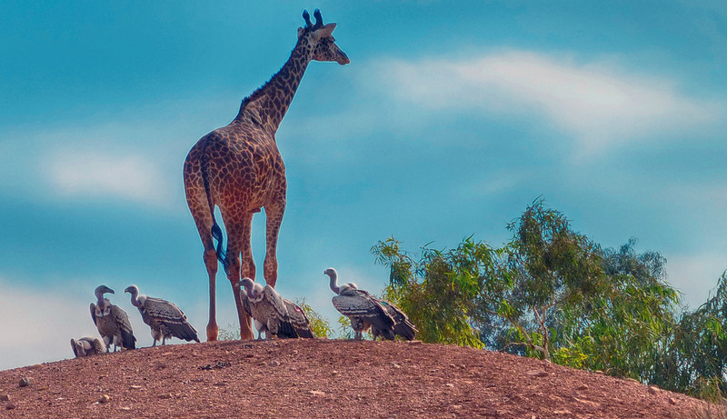 Savanna mixed species display: Reticulated Giraffe, and unknown vultures