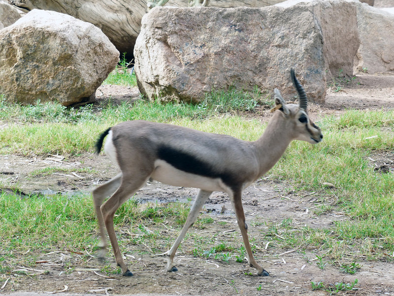 Speke's gazelle (Gazella spekei)<br /> <br /> Smallest of the gazelle species, they are classified as endangered. Severe habitat fragmentation has made proper studies of the species difficult.