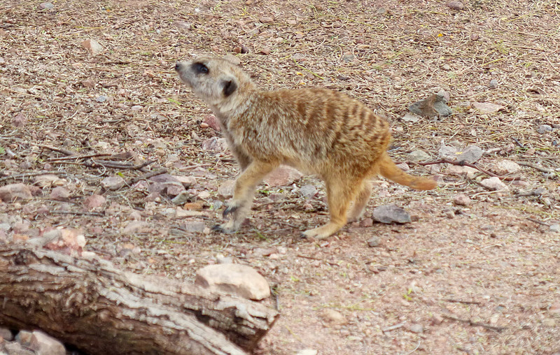 """Meerkat (Suricata suricatta)<br /> <br /> A group of meerkats is called a """"mob"""", """"gang"""" or """"clan"""". A meerkat clan often contains about 20 meerkats, but some super-families have 50 or more members. In captivity, meerkats have an average life span of 12–14 years, and about half this in the wild."""