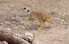 "Meerkat (Suricata suricatta)<br /> <br /> A group of meerkats is called a ""mob"", ""gang"" or ""clan"". A meerkat clan often contains about 20 meerkats, but some super-families have 50 or more members. In captivity, meerkats have an average life span of 12–14 years, and about half this in the wild."