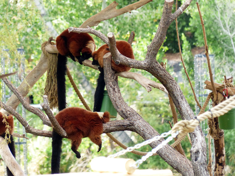 Red Ruffed Lemur (Varecia rubra) <br /> <br /> Unlike all other diurnal primates, female lemurs build nests 30-60 feet above the forest floor, made with twigs, leaves, vines, and fur. <br /> <br /> The red ruffed lemur is mainly a fruit-eater, though it is known to eat leaves and shoots. They especially like figs. Smart monkeys!