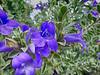 Flower, blue purple
