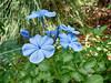 Flower, blue