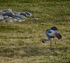 East African Crowned Crane (Balearica regulorum gibbericeps)<br /> <br /> This species and the closely related Black Crowned Crane are the only cranes that can roost in trees, because of a long hind toe that can grasp branches.