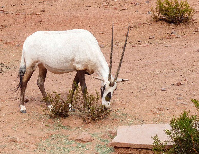 Arabian oryx (Oryx leucoryx)<br /> <br /> This medium-sized antelope was extinct in the wild by the early 1970s, but was saved in zoos and private preserves and reintroduced into the wild starting in 1980. They have been a special focus at the Phoenix Zoo, where the largest world herd was maintained. <br /> <br /> There are approximately 1100 Arabian oryx once again living in the wild.