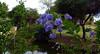 Flower, blue-purple