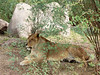 Lion, female (Panthera leo)<br /> <br /> While lions have large sharp teeth they usually kill their prey by strangulation. Most females give birth by the time they are four years of age.