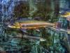 Arctic char (Salvelinus alpinus)