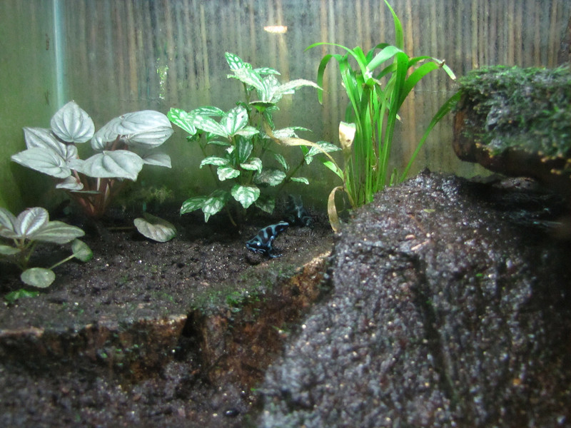 A pair of Poison Dart frogs in a terrarium.