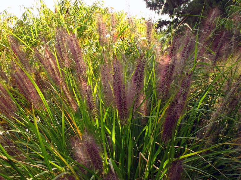 One of the species of ornamental grass we will use in our own landscape.