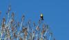 Yellow Breasted Blackbird.