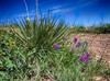 Yucca, Loco Weed, and Asteraceae
