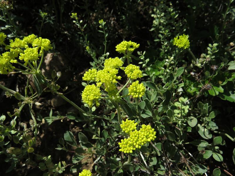Sulpher flower Buckwheat