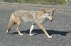 Brush Wolf ... Prairie Wolf ... American Jackal