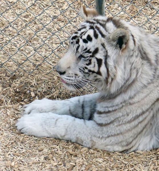 Beautiful white siberian tiger