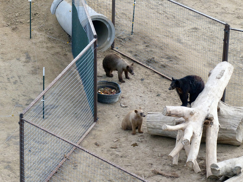 More bear fun. The pipe in the photo leads to an underground den arrangement that is prevalently used throughout the Animal Sanctuary facility. The dens provide privacy and a controlled temperature to animals not used to the cold winters in Colorado.